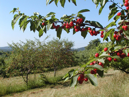 Sweet-Cherry_Sour-ch.jpg