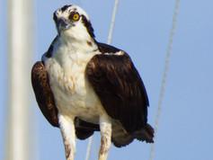 osprey 7 PS.jpg