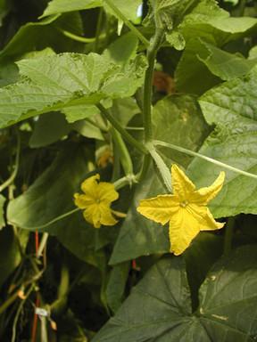 Manar-flower.jpg