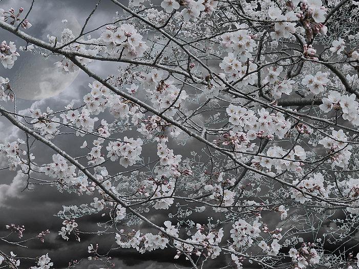 Night Cherry-Blossom Viewing