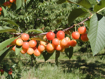Cherry_Ranier_close2.jpg