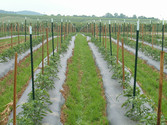 FieldTomatoes.jpg