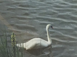 Mattox Creek Swan