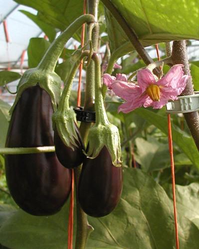 Eggplant-close-2.jpg