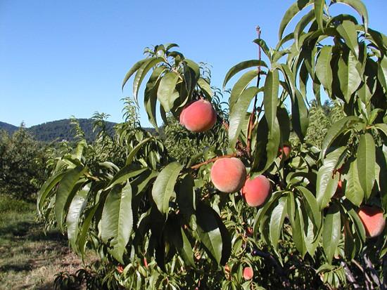 Peach-Sentry2.jpg