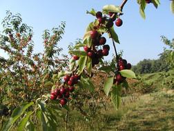 Cherries-dk._Wh.-ch.-in-bac.jpg