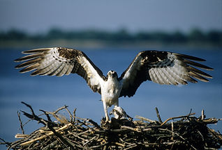 colonial beach ospreys
