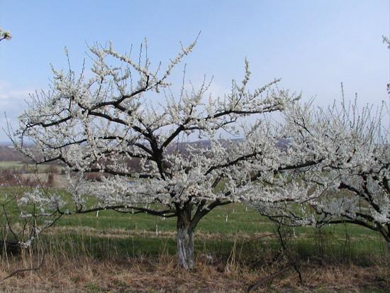 Plum-blooming-1-tree.jpg