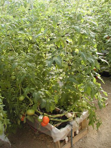 Tomatoes-dist.-1.jpg