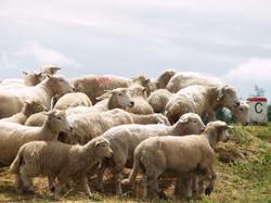 ovce-u