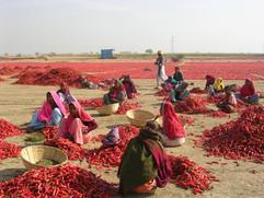 India, Chili Pickers