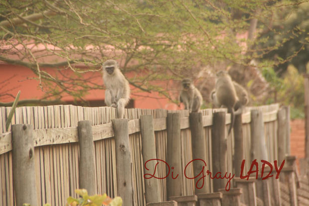 Monkies on a Fence