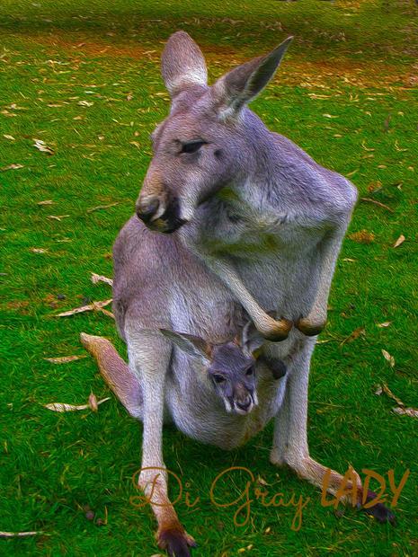 Kangaroo and Joey