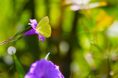 Jamaica, Yellow butterfly In Purple!