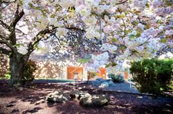 cherry blossom- blossom