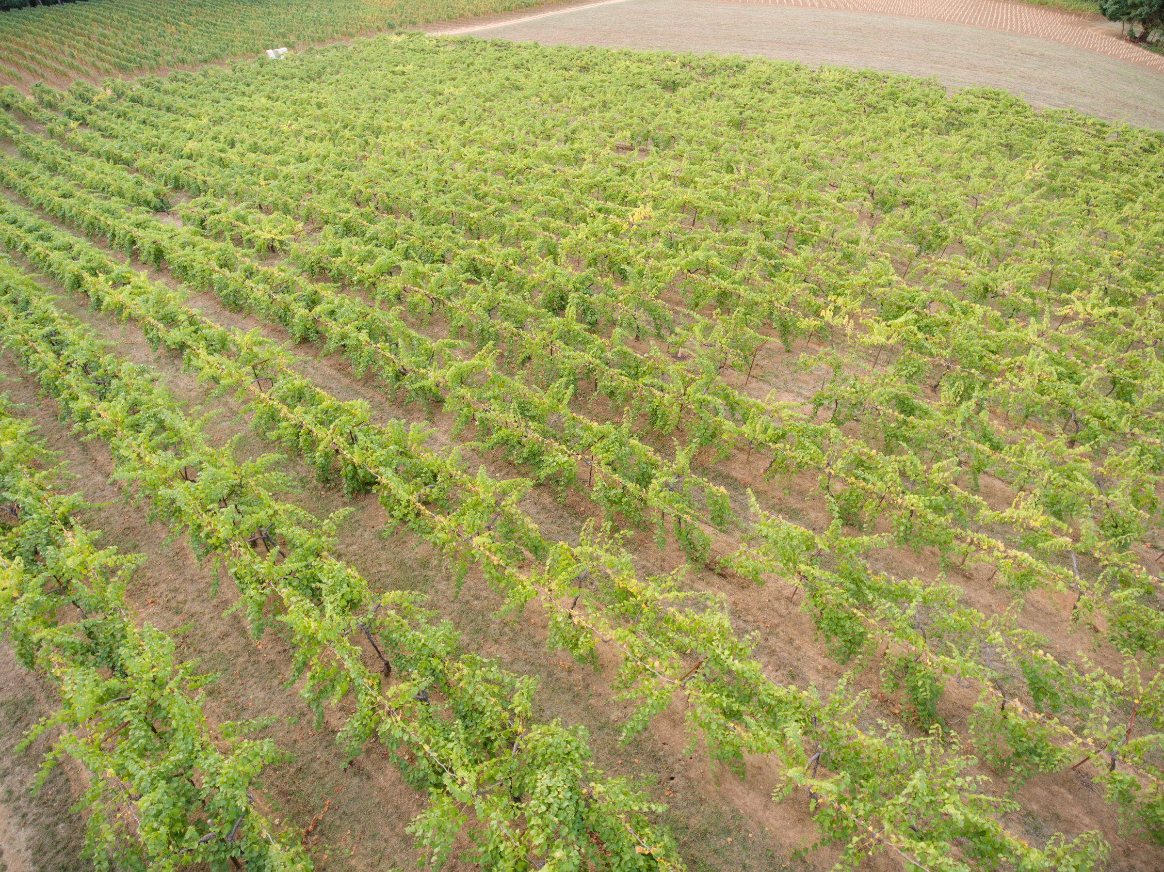 vineyard aerial drone shot