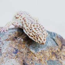 Jazz/ Albino Leopard Gecko