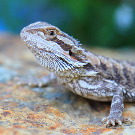 Cracker and Jelly/Leatherback Bearded Dragons