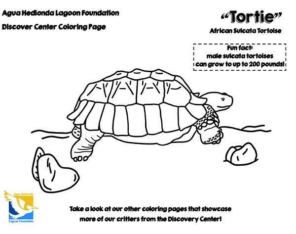 Tortie-Sulcata-Tortoise-LAGOON-FOUNDATIO