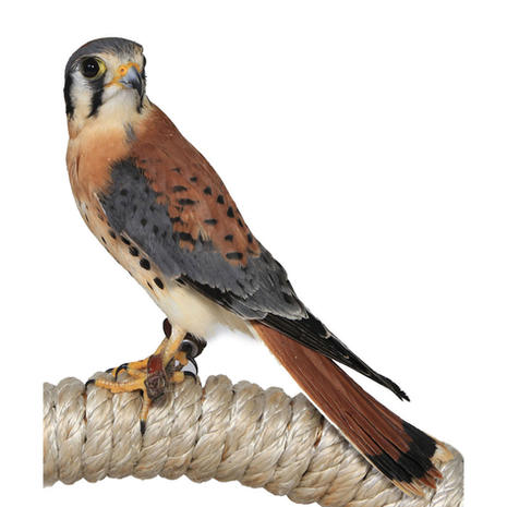COMING SOON - Blue/American Kestrel