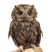 Tecolote/Western Screech-Owl