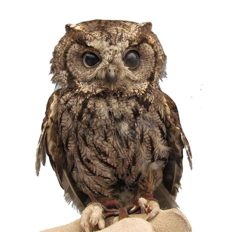 COMING SOON - Tecolote/Western Screech-Owl