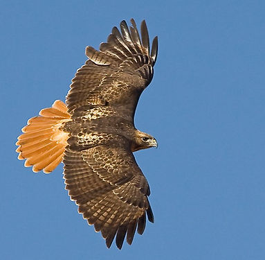 agua-hedionda-lagoon-red-tailed-hawk.jpg
