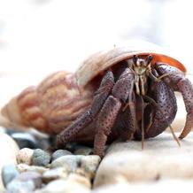 Nasa/Land Hermit Crab