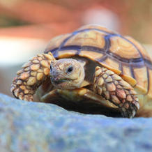 Leo/Sulcata Tortoise