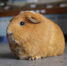 Petunia and Dolly/ Guinea Pigs