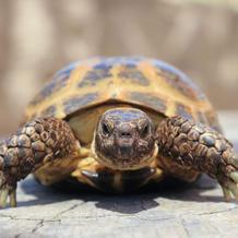 Vlad/Russian Tortoise