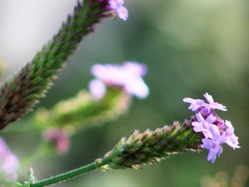 Lagoon-Foundation-purple-flowers.jpg