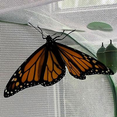 agua-hedionda-monarch-butterfly.jpg