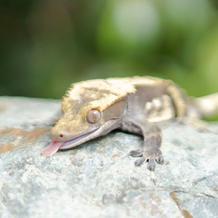 Jack/Crested Gecko