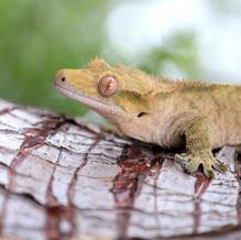 Pilot/Crested Gecko