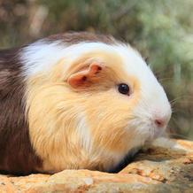 Hank/Guinea Pig
