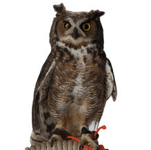 Who/Great Horned Owl