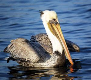 aqua-hedionda-lagoon-foundation-pelican.