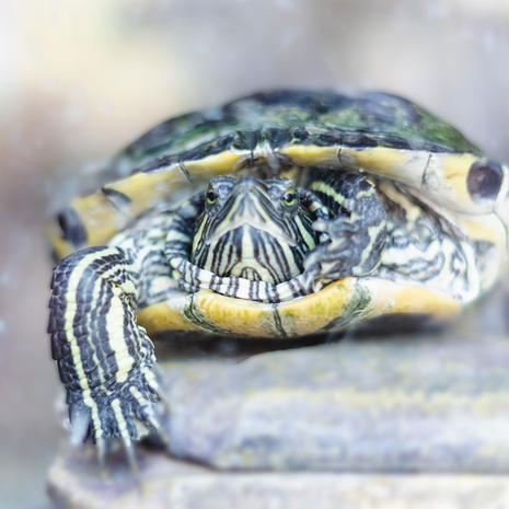 Sandy Grand Baker/Red-Eared Slider