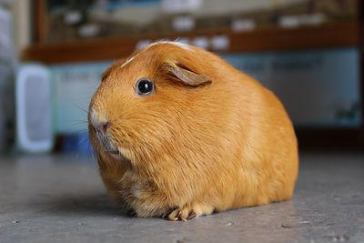 Petunia Guinea pig .JPG