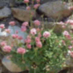 agua-hedionda-lagoon-buckwheat-plant.jpg