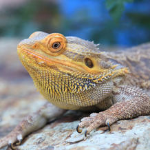 Winston/Bearded Dragon