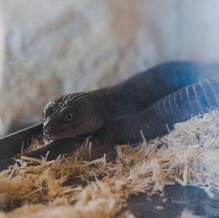 Sal/Southern Alligator Lizard
