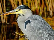 heron-helper-lagoon-foundation-pelican-p