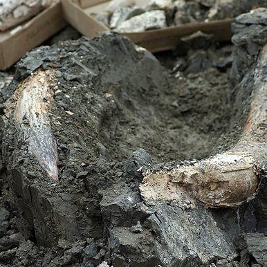 lagoon-foundation-mastadon-bones.jpg