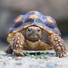Tommy/Sulcata Tortoise