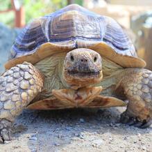 Tortie/Sulcata Tortoise