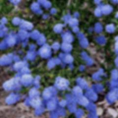 agua-hedionda-lagoon-lilac-plant.jpg