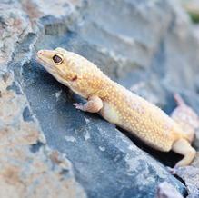 DJ/Albino Leopard Gecko