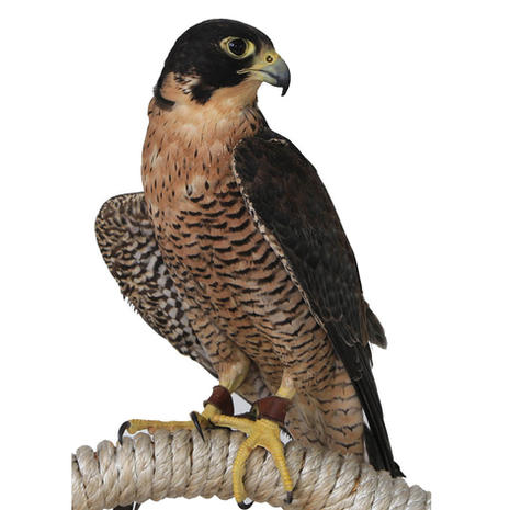 COMING SOON - Celerity/Peregrine Falcon